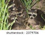 Five Baby Raccoons