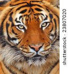 Close up of a tiger - stock photo