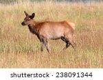 Elk calf (Cervus canadensis) in in Yellowstone National Park