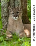 Small photo of The majestic mountain lion (Puma concolor) is also know as the puma or catamount. It is a large feline creative which is native to the Americas.