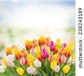 tulips in garden on  bokeh... | Shutterstock . vector #238243189