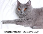 cute cat on a white bed sheets | Shutterstock . vector #238391269