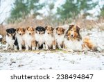 Litter Of Rough Collie Puppies...