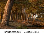 pine forest in the autumn | Shutterstock . vector #238518511