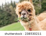 funny  brown alpaca with mouth... | Shutterstock . vector #238530211