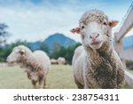 sheep in grass field looking at ... | Shutterstock . vector #238754311
