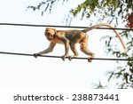 monkey  crab eating macaque  on ... | Shutterstock . vector #238873441