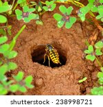 Wasp Over The Entrance Hole Of...