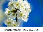 flowers of the cherry blossoms... | Shutterstock . vector #239167315