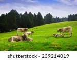 cows in forest meadow. pyrenees ... | Shutterstock . vector #239214019