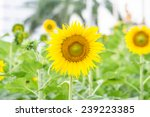 sunflowers for your designs | Shutterstock . vector #239223385