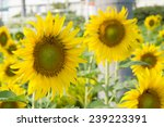 sunflowers for your designs | Shutterstock . vector #239223391