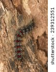 lymantria dispar dispar ... | Shutterstock . vector #239312551