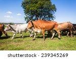 Cattle Herding Farm Cattle Far...