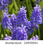 Bluebells  Grape Hyacinth ...
