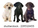 Puppies Purebred  Labrador...