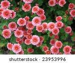 chrysanthemum background | Shutterstock . vector #23953996