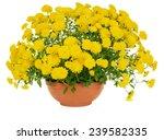 yellow chrysanthemum flowers in ...   Shutterstock . vector #239582335