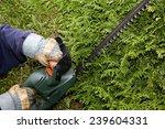 gardener trims hedge with... | Shutterstock . vector #239604331