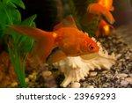 gold small fish in an aquarium | Shutterstock . vector #23969293