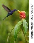 Dark Blue Hummingbird Violet...