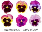 Flower Heads  Colorful Pansies...