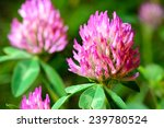 Flowering Clover. Close Up Shot