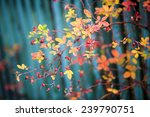 wild rose bush | Shutterstock . vector #239790751