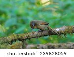 spectacled barwing | Shutterstock . vector #239828059