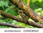 spectacled barwing | Shutterstock . vector #239828065