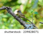 spectacled barwing | Shutterstock . vector #239828071