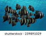School Of Tropical Fish  Frenc...