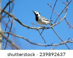 White Wagtail Bird Sits On Tre...