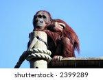 An Orangutan Studies The...