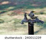 Small photo of Spiny-cheeked Honeyeater or Acanthagenys rufogularis on a tap
