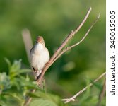 Small photo of Marsh Warbler (Acrocephalus palustris).Wild bird in a natural habitat.