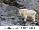 Mountain Goat In Rain