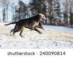 irish wolfhound dogs running at ... | Shutterstock . vector #240090814
