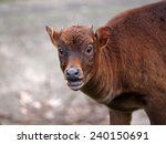 Small photo of Anoa