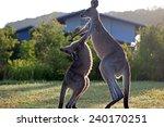 Kangaroos Attack.