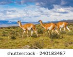 guanacos on a mountain hill in... | Shutterstock . vector #240183487