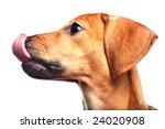 Dachshund Puppy Lick Itself...