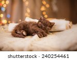 Stock photo british kitten christmas and new year portrait cat on a studio color background 240254461