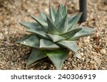 Small photo of Agave pumila a very compact form, one of the smallest of the Agave�¢??s. It is suspected to be a natural hybrid between Agave lechuguilla and Agave Victoria reginae.