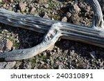 saguaro cactus skeleton | Shutterstock . vector #240310891