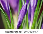 Soft, abstract image of crocus buds ready to bloom.  Macro with extremely shallow dof. - stock photo