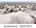 A Group Of Nelore Cattle Herde...
