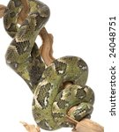 Small photo of Madagascar Tree Boa (Boa manditra) isolated on white background.