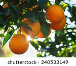 Valencia Orange Morning Sunshine