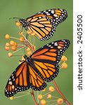 Two Monarch Butterflies Are...